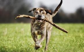 running, dog, Italian Mastiff, friend
