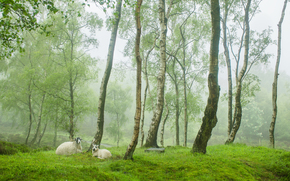 alberi, radura, Pecora, natura
