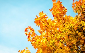 tree, yellow, autumn, Widescreen, wallpaper, fullscreen, degradation, trees, Macro, background, blue, Widescreen, leaves, sky, foliage