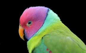 pájaro, color, loro, fondo negro