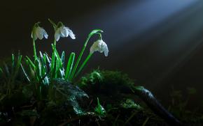 snowdrops, moss, SPRING, grass, Rays, light, Flowers