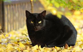 autunno, fogliame, COTE, giallo, nero
