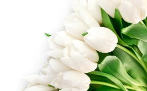 brillante, Pétalos, follaje, Blanco, belleza, TULIPANES, Flores