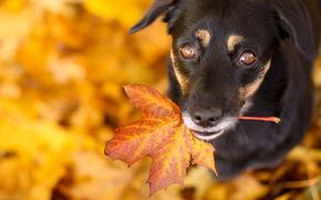 друг, лист, взгляд, собака