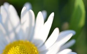 camomilla, Petali, fiore, Macro