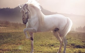 Лошадь, белый жеребец, конь