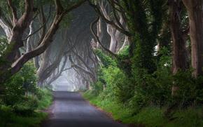 кусты, деревья, стволы, туман, Ирландия, дорога, природа, утро