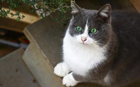зеленоглазая, бело-серая, кошка, сидит