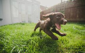 喜悦, 狗, 运行, 小狗, 草