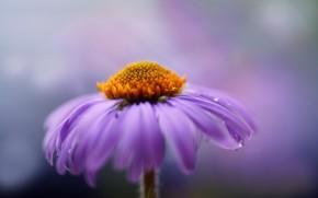 crisantemo, Macro, fiore, lilla, Petali