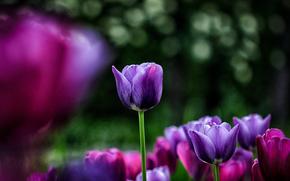 blur, purple, glare, TULIPS, pink, background, Flowers, flowerbed