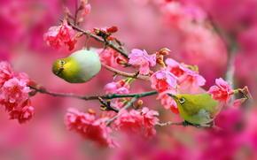 cherry, Japanese White-eye, nature, Sakura, Flowers, birds, pink, BRANCH