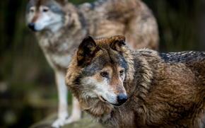 Wolves, predators, wildlife