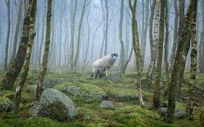 foresta, nebbia, alberi, pecora, natura