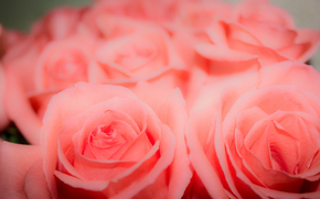 фон, розовый, бутон, цветы, розы