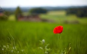 широкоэкранные, зелень, трава, мак, цветочки, фон, красный, поле, цветы, обои, полноэкранные, широкоформатные