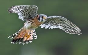 falcon, bird, wings, flight, sparrow kestrel