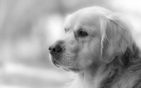 собака, взгляд, друг