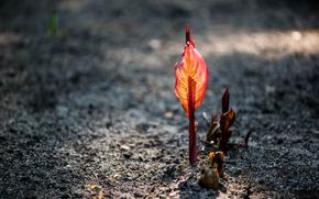 растение, боке, росток, красный, лист