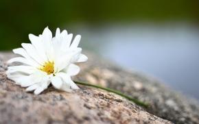 Flores, fondo, Widescreen, florete, amarillo, flores, Pétalos, papel pintado, Widescreen, fullscreen, flor, blanco