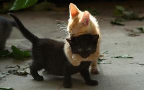 котята, рыжий, игра, двое, черный