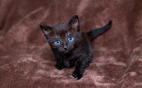 schwarz, kitten, blauäugig, ansehen