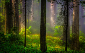 California, chiaro, USA, alberi, Redwood National Park, foresta, mattinata, natura