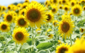 carta da parati, sfondo, giallo, sole, fiori, Widescreen, campo, Widescreen, Fiori, fullscreen, fiori, semi di girasole