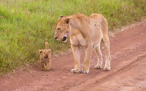 leonessa, lionet