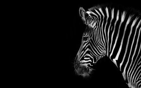 background, zebra, COLOR