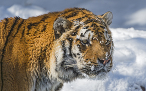 tiger, snow, view, Amur tiger, Snout, cat, winter