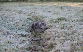 серая, тропинка. кошка, заморозки, иней, трава
