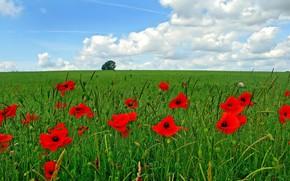 field, greens, Poppies
