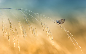 butterfly, blade, Spikelets, background