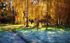 sun, frost, forest, Birch, autumn