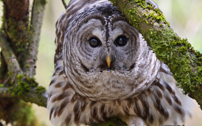 owl, view, BRANCH, Mottled owl, bird