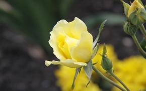природа, обои, цветы, сад, фон, цветок, желтая роза, растение