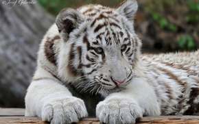 Young Tiger, white tiger, predator