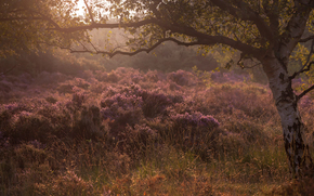 birch, grass, morning