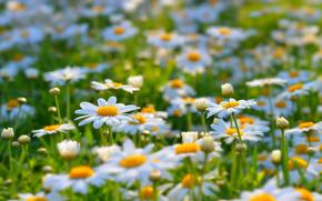 Fiori, estate, radura, Camomilla, natura