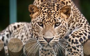 view, Snout, leopard, cat