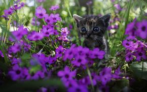 котёнок, взгляд, цветы, мордашка