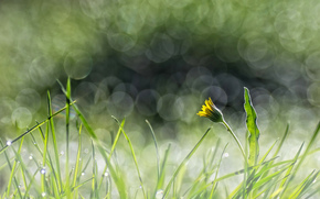 grass, glare, dandelion, flower, yellow