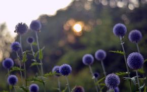 abbagliamento, Fiori, sole, radura, blu, sera, tramonto, bokeh