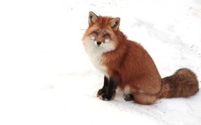 fox, bianco, nevicata, Muso, piedi, orecchie, CODA
