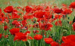цветы, трава, красные маки