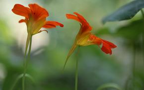 цветы, красно-оранжевые, размытость, фон