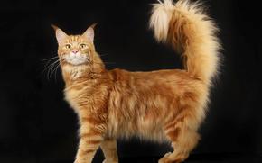 рыжий, аборигенная порода, мейн-кун, домашний, пушистый, породистый, кот