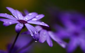 bead, Flowers, lilac, Petals, blur, Cineraria, Macro