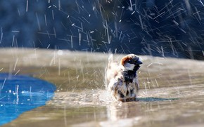 птичка, вода, воробей, брызги